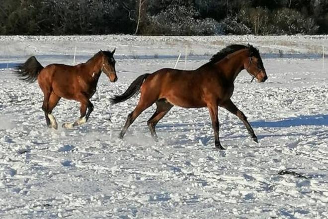 Tautinių žirgai