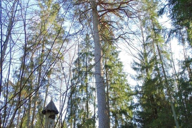 Pine of Albinas
