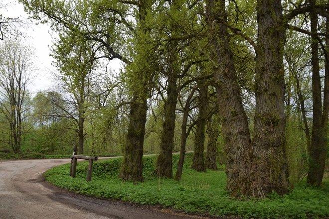 Bubiai Poplars