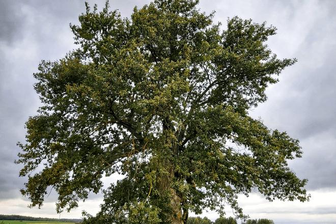 Kybarčių ąžuolas