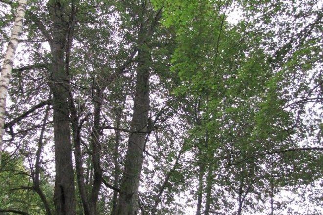 Laisvučiai multi-trunk linden and maple