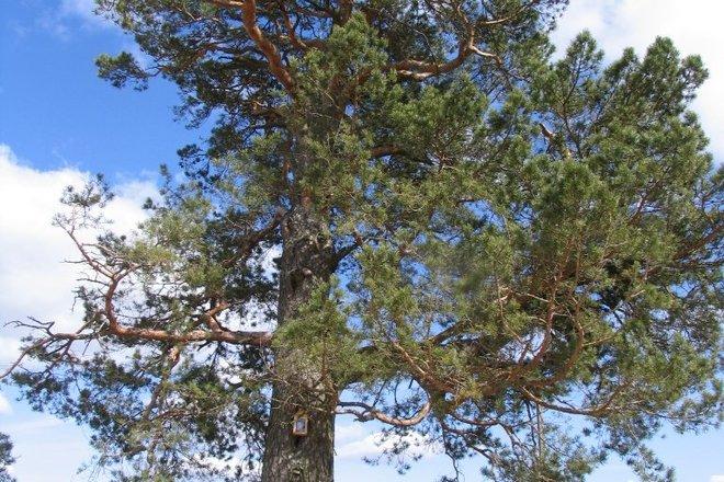 Pociškė pine
