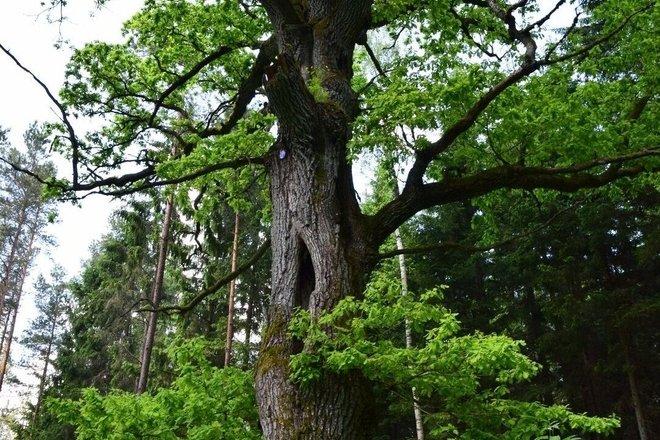 Zuikiškės oak